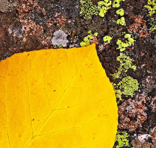 Click to view detail for Aspen Leaf and Lichen 13x13