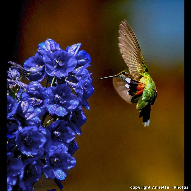 Click to view detail for Greeting Cards -Hummingbird on Delphinium